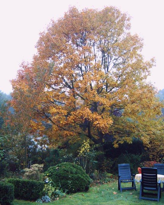 Amerikanische Roteiche im Herbst-12102008-012